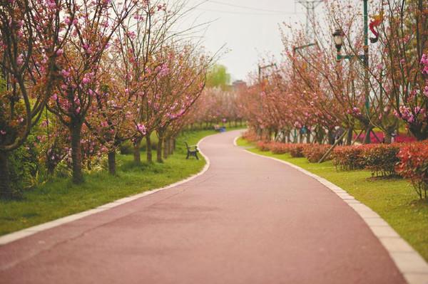 成都青白江凤凰湖迎来最佳樱花观赏期