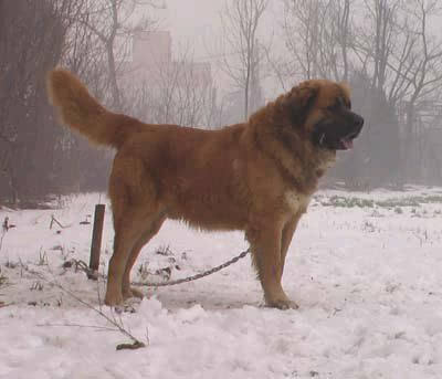 世界上最大的狗藏獒_比藏獒更牛的高加索犬 世界上体型最大的狗(图文)