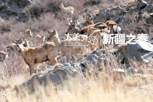 新疆野生动物园 野马在荒漠区散步
