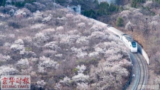 这是昨天由京华时报拍摄记者@pphoto 在居庸关拍照的相片,调和号列车穿梭花海。