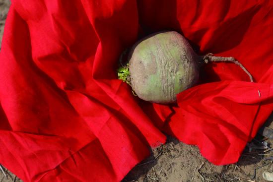 坟场整顿结束,会恭敬本地习俗放入一个萝卜