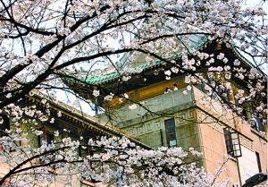 武大樱花。