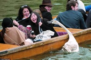在不久前的复生节周日,横蛮天鹅Asbaby在剑河上追击旅客。
