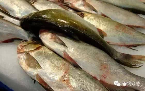 鲢鱼解剖骨刺结构图