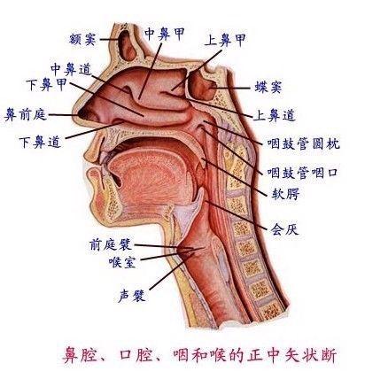 从上述的解剖结构图我们不难看出,鼻腔的一部分和外界相通以吸收空气