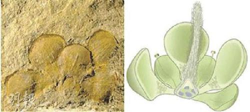 潘氏真花的形式标本(左)与恢复图(图像来历:香港《明报》)