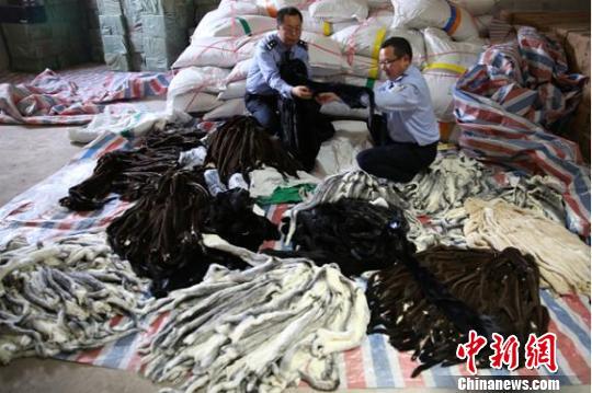 图为南宁海关对查扣的涉嫌走私貂皮进行清点 刘永华 摄