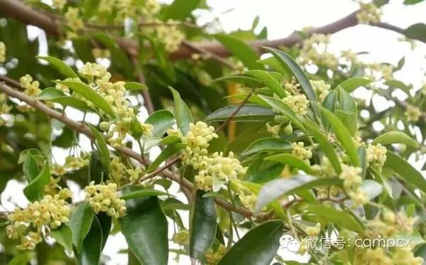 因此东南亚诸国热带雨林及海岛性热带雨林是沉香生长的最佳环境.