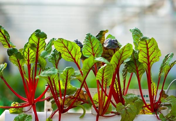 阳台种菜技术大全图解 家庭阳台种菜技巧 盆栽蔬菜种植技术