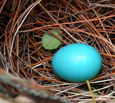 南京紫金山发觉稀有蓝色鸟蛋 萌翻泛滥网友们