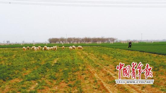 """四周地块的麦苗长了一尺来高,由于""""毁约弃耕"""",柏乡县内三村村民的70多亩耕地却荒草丛生,成了邻村羊倌牧羊的草场。本报记者 樊江涛/摄"""