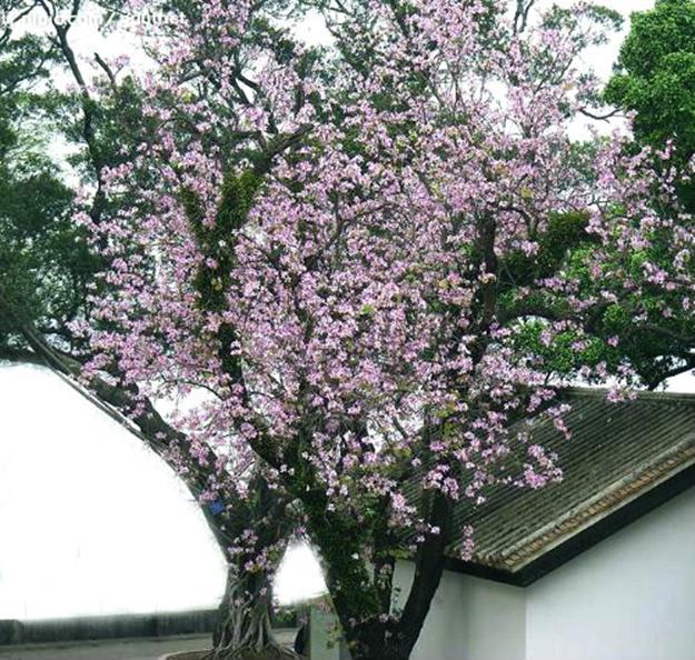 在婺源,一树花便是一段故事