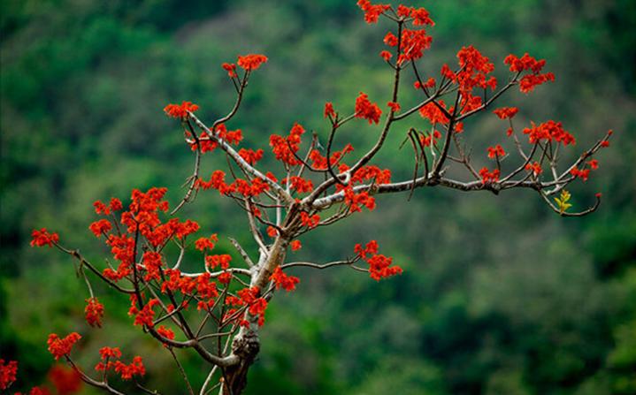 火红的梧桐花