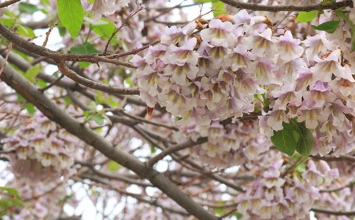 你来或者不来,婺源都一树一树的花开