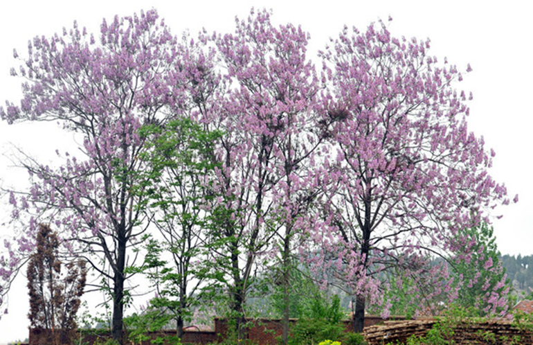 """""""你是一树一树的花开,是燕在梁间呢喃。你是爱,是暖,是希望。你是人间的四月天。""""很多年前,林徽因曾写下这样的诗句,而如今婺源的四月天,正好是一树一树的花开,燕子在梁间呢喃的季节,此时大自然心情正好,梧桐花雨,如香醇的老酒,醉在婺源的暮春。"""