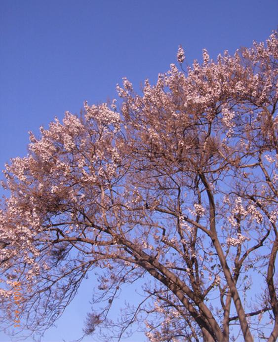 四月芳菲 婺源迎来树树花开