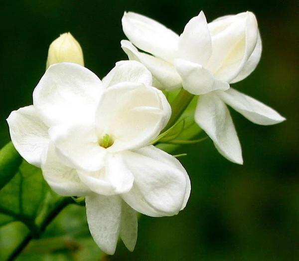 �:(�z+���!��a_[双语] 茉莉花 jasmine flower