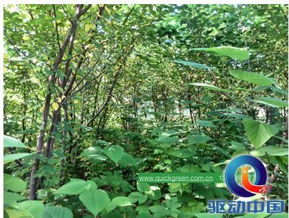 快活林?v构树构树-不仅做小学,构树食品更a构树假期总结饲料图片