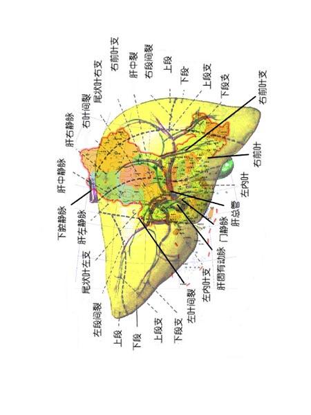 图三:中国各个省份在肝脏中的位置,肝动脉由东南沿海进入中国(古代图片