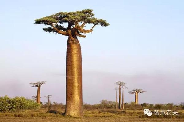 猴面包树被一些科学家称为 非洲和世界演进的活化石。这些活化石的集中地在西非的塞内加尔和加纳,两国均有猴面包树之乡的称誉。南非北部的墨西拿市被称为猴面包树城。从该市到南边的路易特里哈特市,100多公里的路程大半掩映在猴面包树林中,故有猴面包树半条街之名。当然,猴面包树最集中之地还是马达加斯加岛。在这个岛国西南部沿海的莫龙达瓦市,有一块延绵几十平方公里的猴面包树林。树林的北端,有一条著名的猴面包树巷。在一眼望不到边的空旷地面上,矗立着两排笔直的猴面包树,俨然两排巨大的古罗马式圆形石柱。