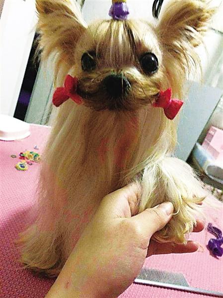 廖密斯家的约克夏宠物狗