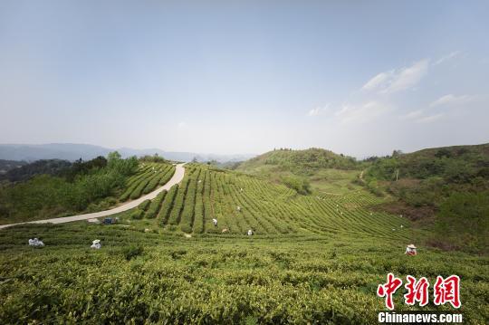 图为在贵州贵阳茶农清明前采茶制茶忙。 贺俊怡 摄
