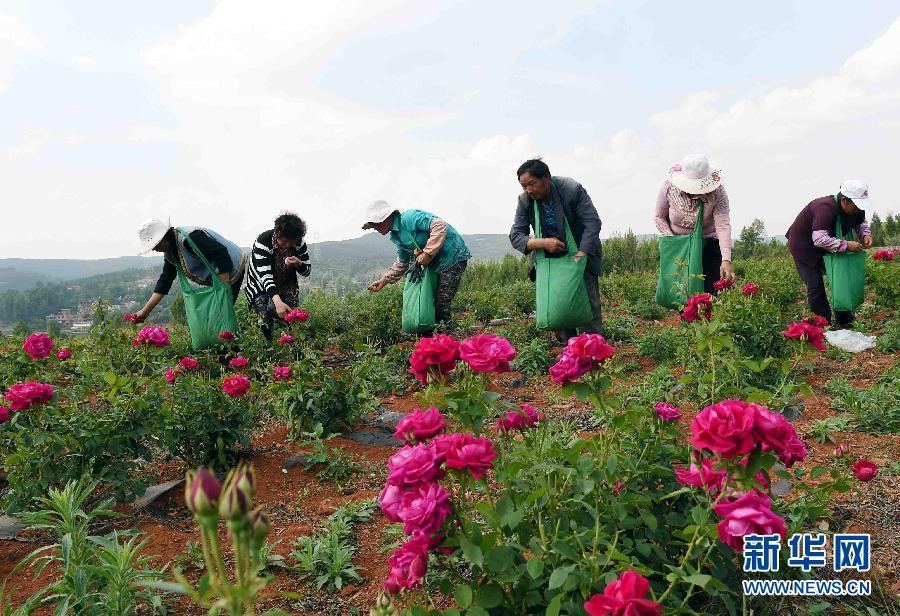 5月6日,宣威市西宁街道黄家村农民在采摘食用玫瑰。云南省曲靖宣威市加快推进高原特色农业产业园区建设,去年投入资金1100万元,带动民间资金10亿元发展特色产业,现已建成中药材、果蔬、花卉等50个特色种植产业园区,带动全市70万亩特色产业发展,解决了许多农民工在家门口就业的问题,实现特色产业产值26亿元。新华社记者 杨宗友