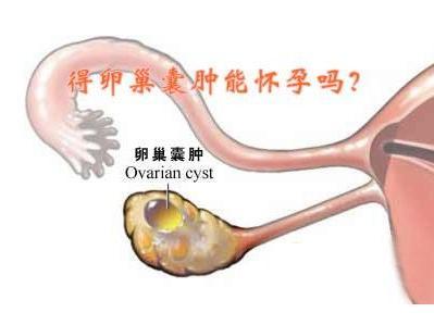 小鼠卵巢解剖图手绘