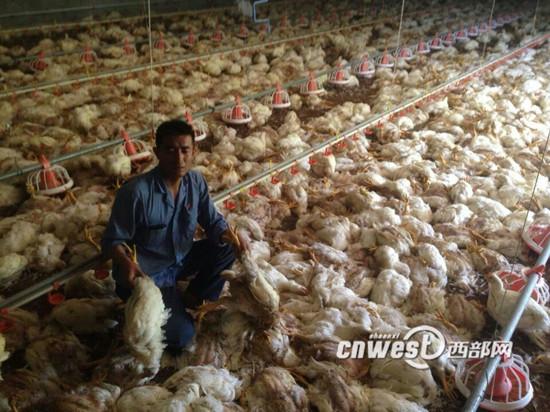 5月9日,宝鸡市高新区钓渭镇疙瘩沟村一养鸡场因为遭遇突然停电导致7000多只白羽鸡因高温缺氧死亡。