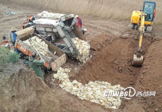 5月10日下午,在宝鸡市高新区政府部门的协调下,死鸡被无害化处理。