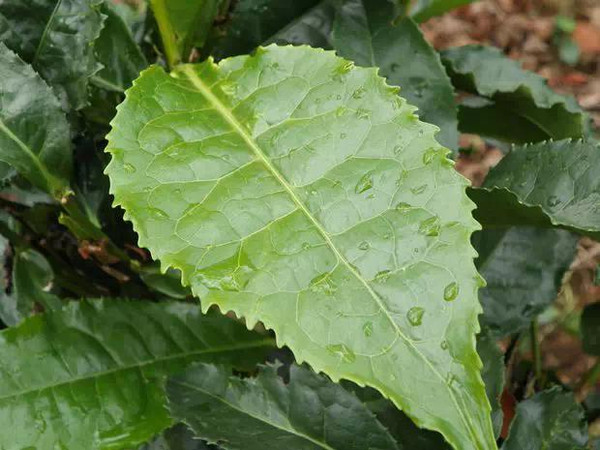 不同茶树的叶