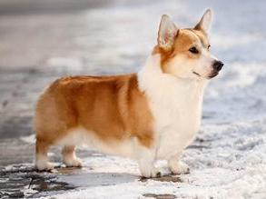 为什么柯基犬很招人喜欢,因为它们会让你笑到窒息