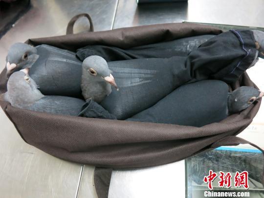 信鸽被黑丝袜裹住