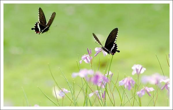 浪漫:两只蝴蝶图片