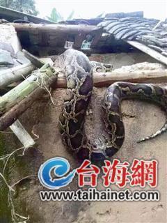 大蟒蛇钻进养鸡场吞20只鸡