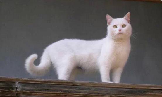你知道招财猫的由来吗?