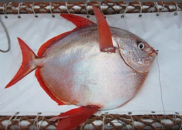 人类发现的第一条温血鱼:月鱼
