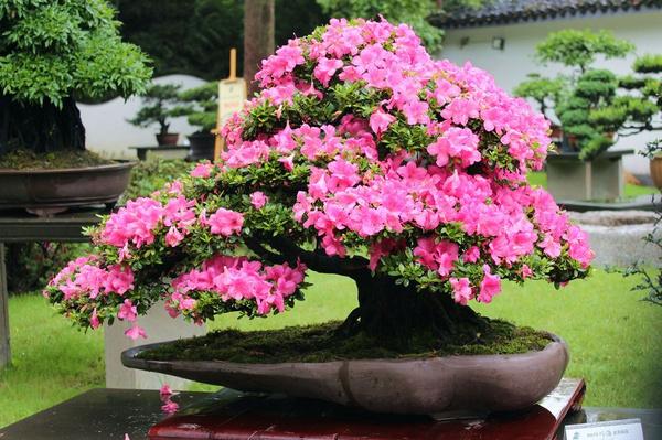 杜鹃盆景图片