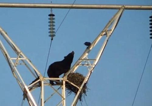 通过几番折腾后,大黑熊终究到达意图地,本来认为能够开端享受美食,但没想到此时鸟巢的客人回去了。