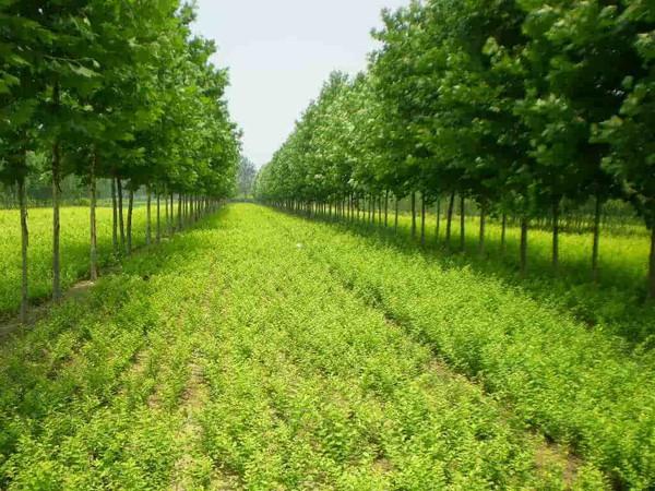 绿化苗木_名称绿化苗木产地