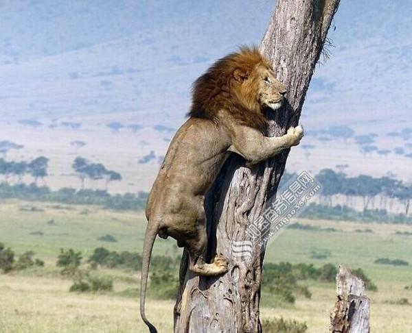 肯尼亚一头狮子被野牛群追赶 寡不敌众下逃跑