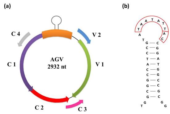 (a)agv基因组结构图,箭头表示开放阅读框的方向;(b)基因间隔区的茎环