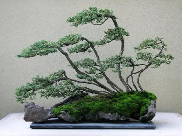 """目前,市场上销售的""""文玩盆景""""主要有崖柏,黄杨,小叶紫檀,红豆杉,这些图片"""