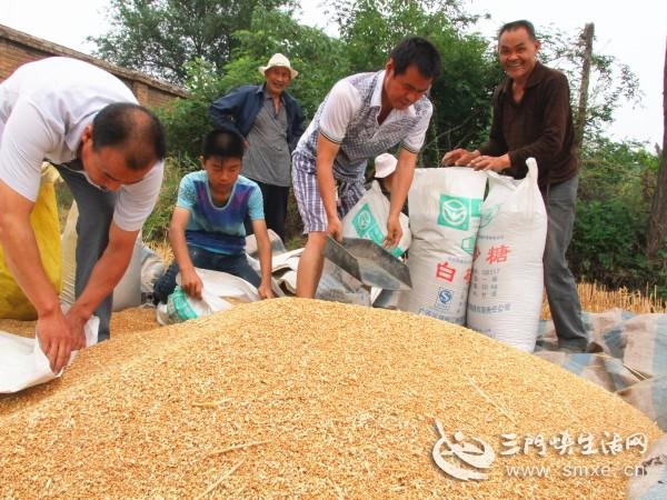 三门峡市湖滨区小麦开镰收割