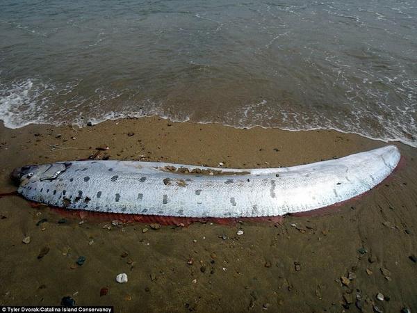 桨鱼吃人的视频_图中是2013年10月在该处发现的桨鱼,需要16个人才能抬起来.