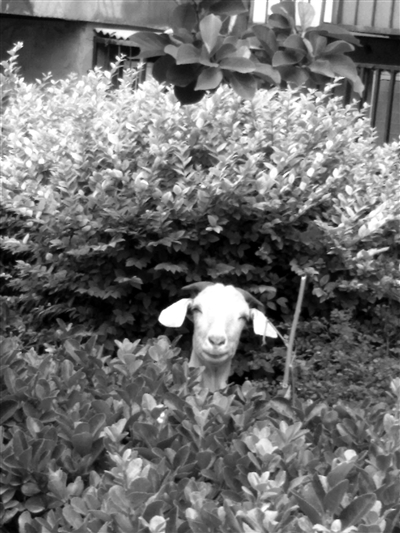 山羊四周的花和树有的被啃出了斑秃