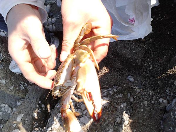 青岛石老人海边抓的大螃蟹,哇咔咔