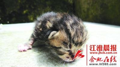 虽是幼崽,但这只豹猫的爪子看起来很锋利
