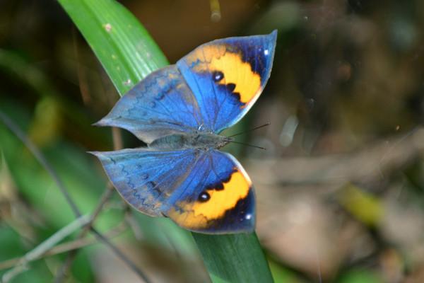 中华枯叶蝶