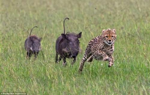 �澹毫员�被两只疣猪追得狼狈逃窜